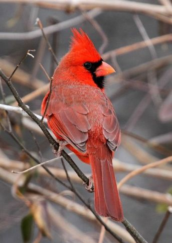 Northern Cardinal (AllHarts on Flickr)