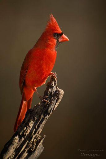 Northern Cardinal (DevianArt)
